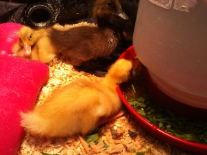 """ducklings eating their vegetables"""