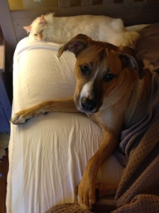 """""""boxhound lounging"""""""