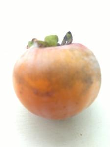 """american persimmon"""