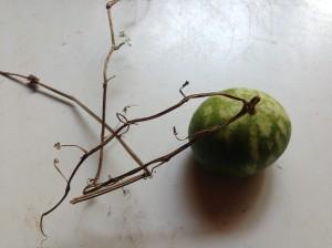 """miniature melon"""